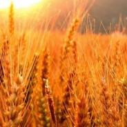 Con menos trigo en Argentina, los precios son alentadores