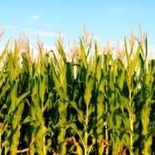 El Gobierno planea abrir las exportaciones de maíz antes de las primarias