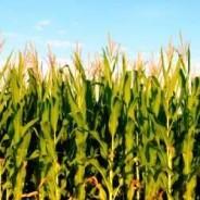 El maíz 2020/21 será afectado por el clima