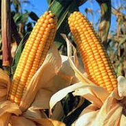 Se vende el maíz, se guarda la soja