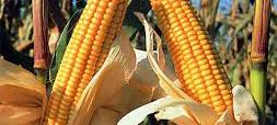 El maíz esta primero