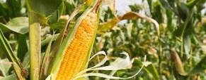 Cosecha récord de maíz que se vende más que la soja