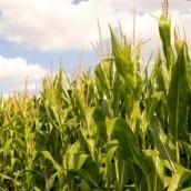 Afirman que la próxima campaña de maíz casi no será rentable