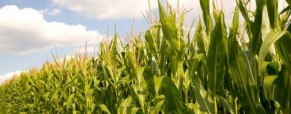 La siembra de maíz, amenazada por el potencial default de Argentina