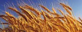 Bajo el diferencial del precio FOB y precio FAS teorico del trigo argentino