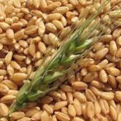 El trigo con precios altos pero dólar bajo
