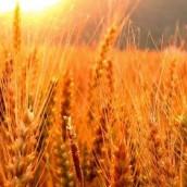 El trigo 14/15 podría ganar más terreno