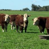 Aseguran que la ganadería invierte más de $ 100.000 millones anuales