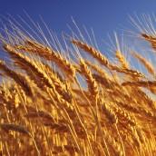 El trigo baja en el mundo y deprime el mercado local