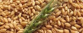 El trigo sirve para la alimentación animal